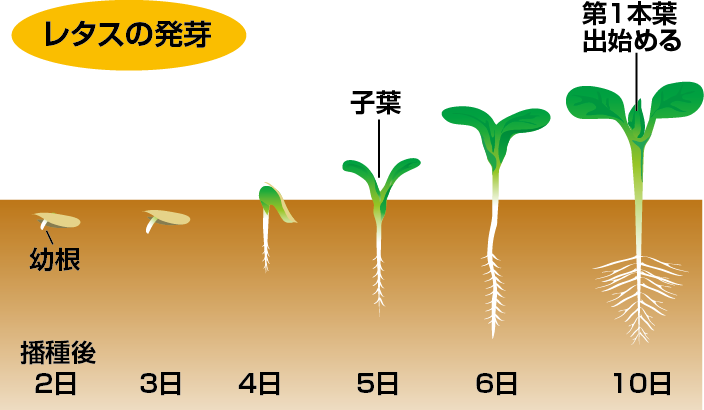 レタスの発芽