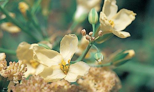 カリフラワーの花